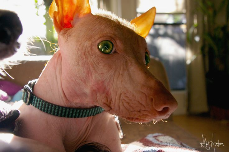 Gizmo, the Hairless #Xolo with green eyes. #hairlessdog #mexicanhairless #redhair #dog #doggy