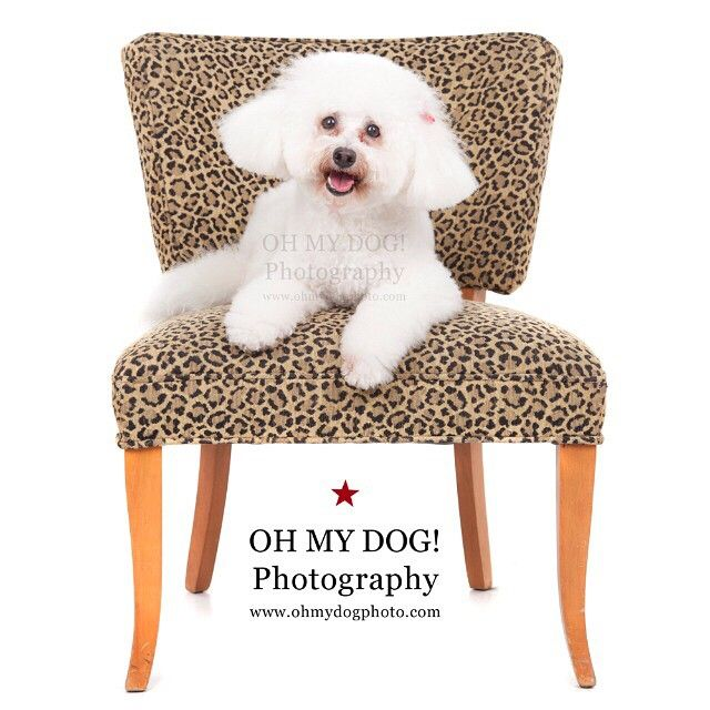 """""""What's better than #poodles on #leopardprint? #ohmydogphotography #minipoodles #dogs #dogsofinstagram"""""""