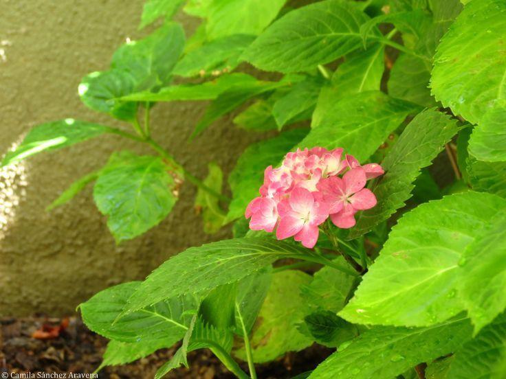 Hortensia rosada - Pink Hortensia