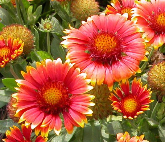 Blanket flower.  Great for the novice gardener and easy to grow. Attract butterflies, bees and birds. Need these.