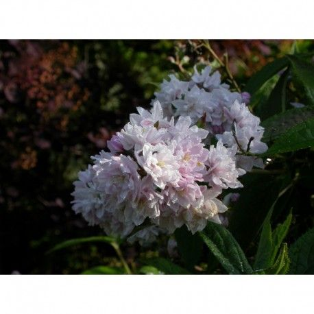 Deutzia hybrida x Pink Pompon: pep Brochet-Lanvin. Arbuste à fleur rose très double et serrée. Feuillage jaune en automne.