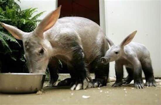 Les bébés animaux les plus mignons : tapir.