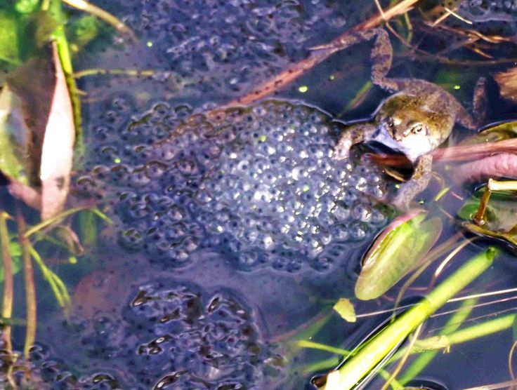 St David's-tide 2014. My small pond is being filled with frog spawn. So full is it that Mrs Frog has nowhere to hide from a camera. Although her husbands have all disappeared.