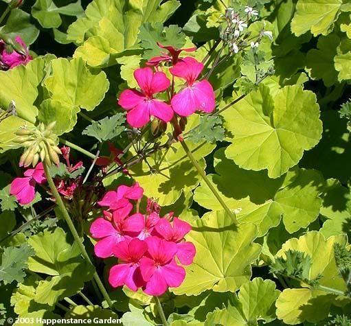 Plus de 25 id es adorables dans la cat gorie geranium for Comment arroser les geraniums