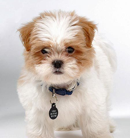 Maltese+Shih+Tzu+Mix | Yoshi the Shih Tzu/Maltese Mix | Puppies | Daily Puppy