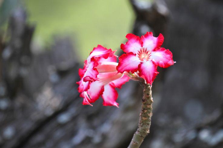 Impala Lily (Adenium obesum)