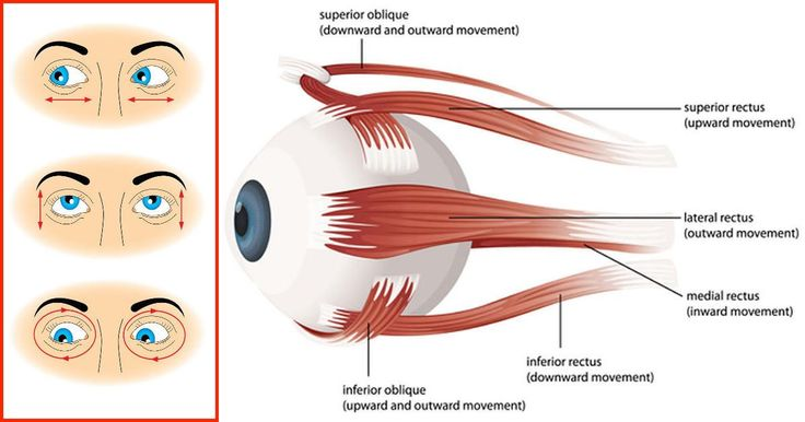 Illustration of the muscles of the human eye