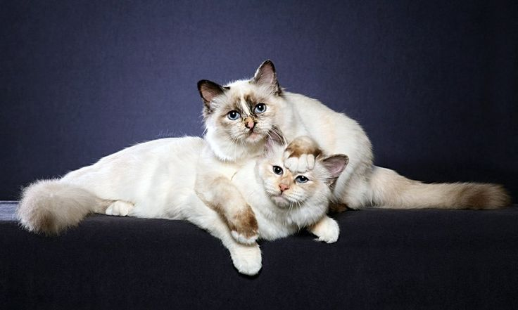 birman cats colors