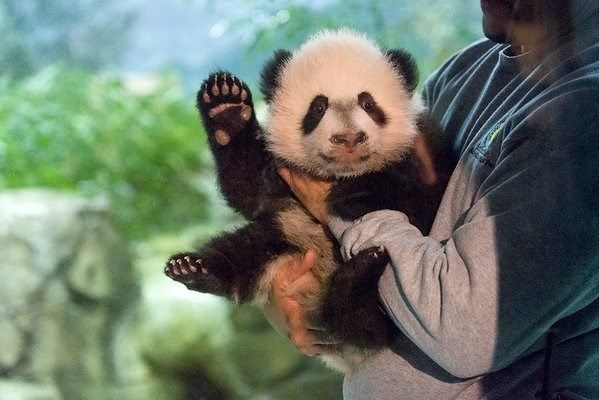 Bei Bei, the Adorable Giant Panda Cub Just Made His Media Debut
