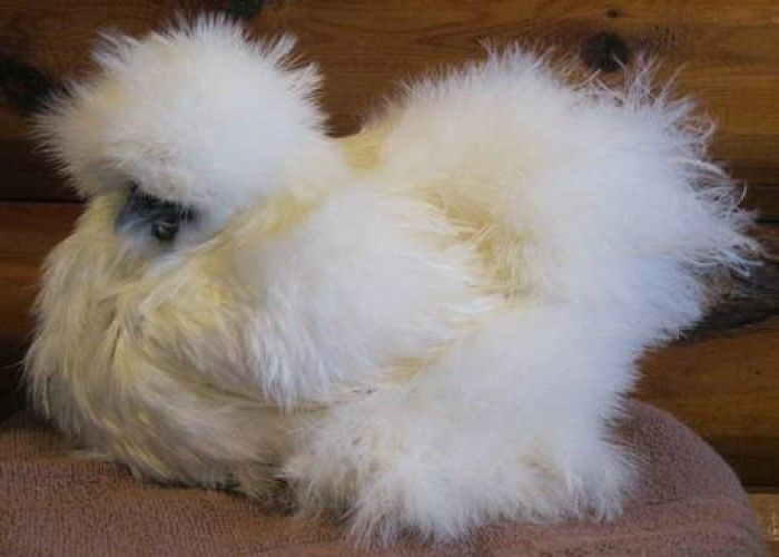 Baby+Silkie+Chicks | Silkie+chickens+for+sale | I want ...