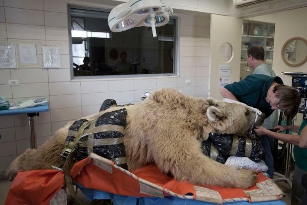 PHYSICAL BEAR-APY Mango, a 19-year-old male Syrian brown bear, rests on a bed as zoo veterinarians and staff prepare him for surgery in the Ramat Gan Zoological Center's animal hospital near Tel Aviv. Credit: AP Photo: Ariel Schalit