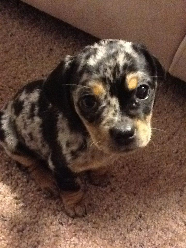 10 best pug husky images on Pinterest | Husky mix ...