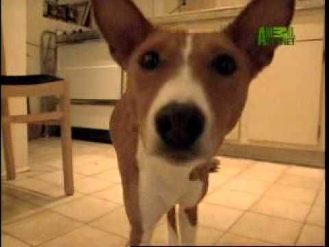 Breed All About It - Basenji - YouTube