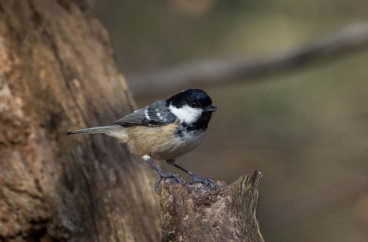 Listen to Coal Tit on british-birdsongs.uk, which is a comprehensive collection of English bird songs and bird calls.