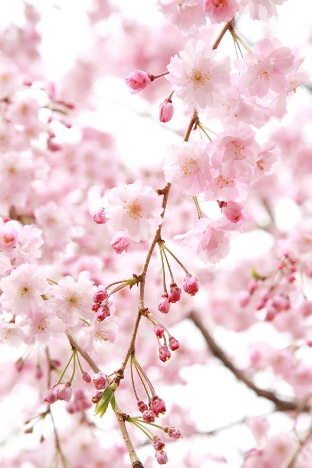 Цветы сакуры картинки на телефон