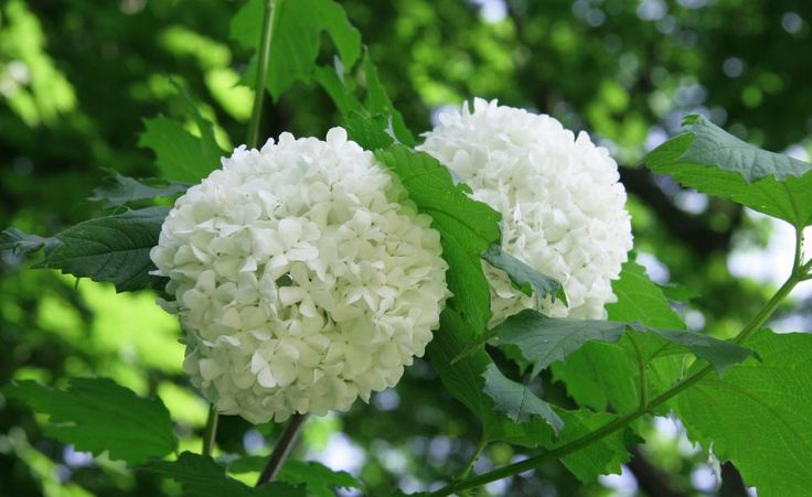 17 schneeball pflanze pinterest. Black Bedroom Furniture Sets. Home Design Ideas