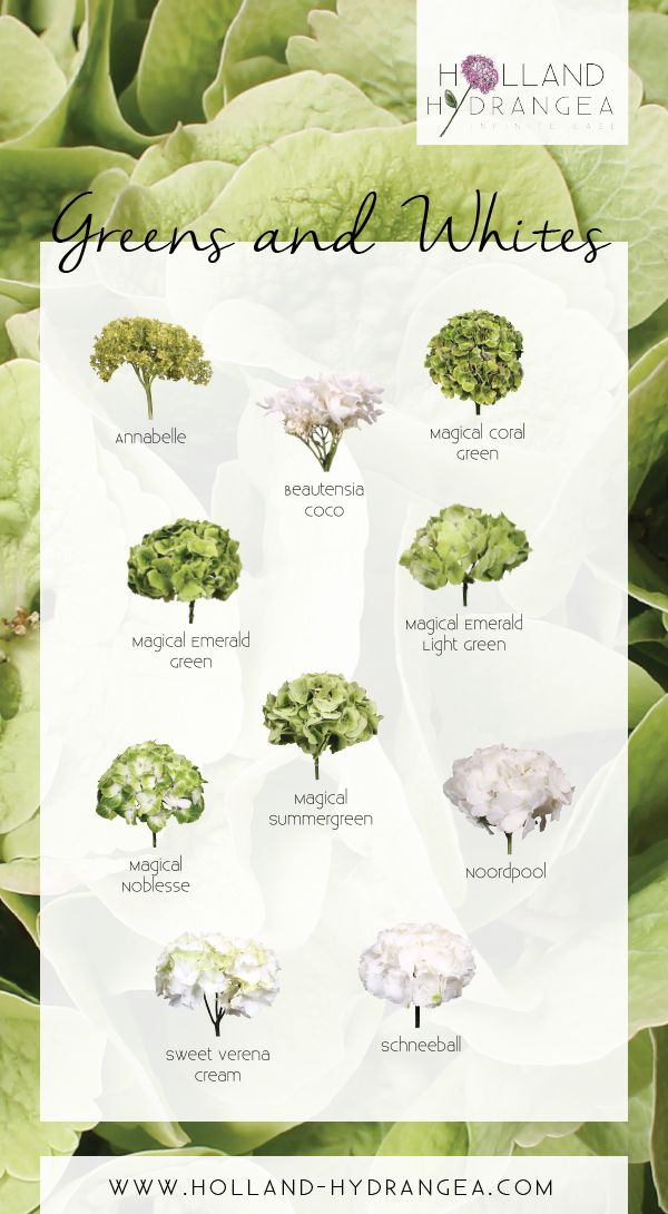 Beautiful Greens and Whites | Holland Hydrangea: share the beauty of Dutch Hydrangea! | www.holland-hydrangea.com