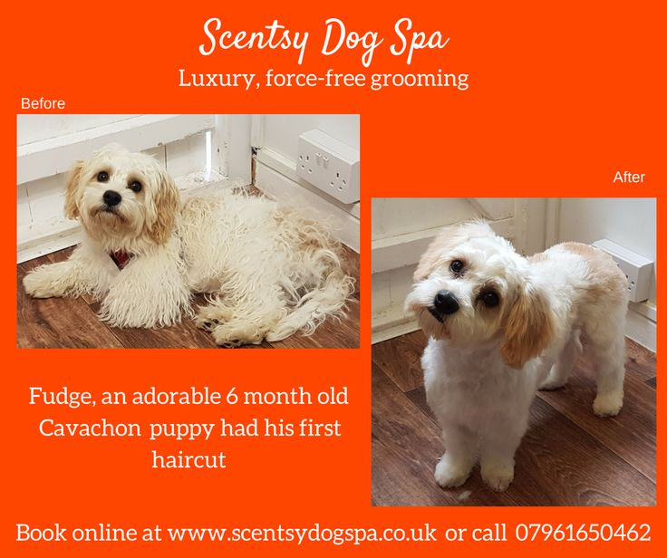 21 best dogs before and after images on pinterest dog grooming 6 month old cavachon gets his first hair cut solutioingenieria Gallery