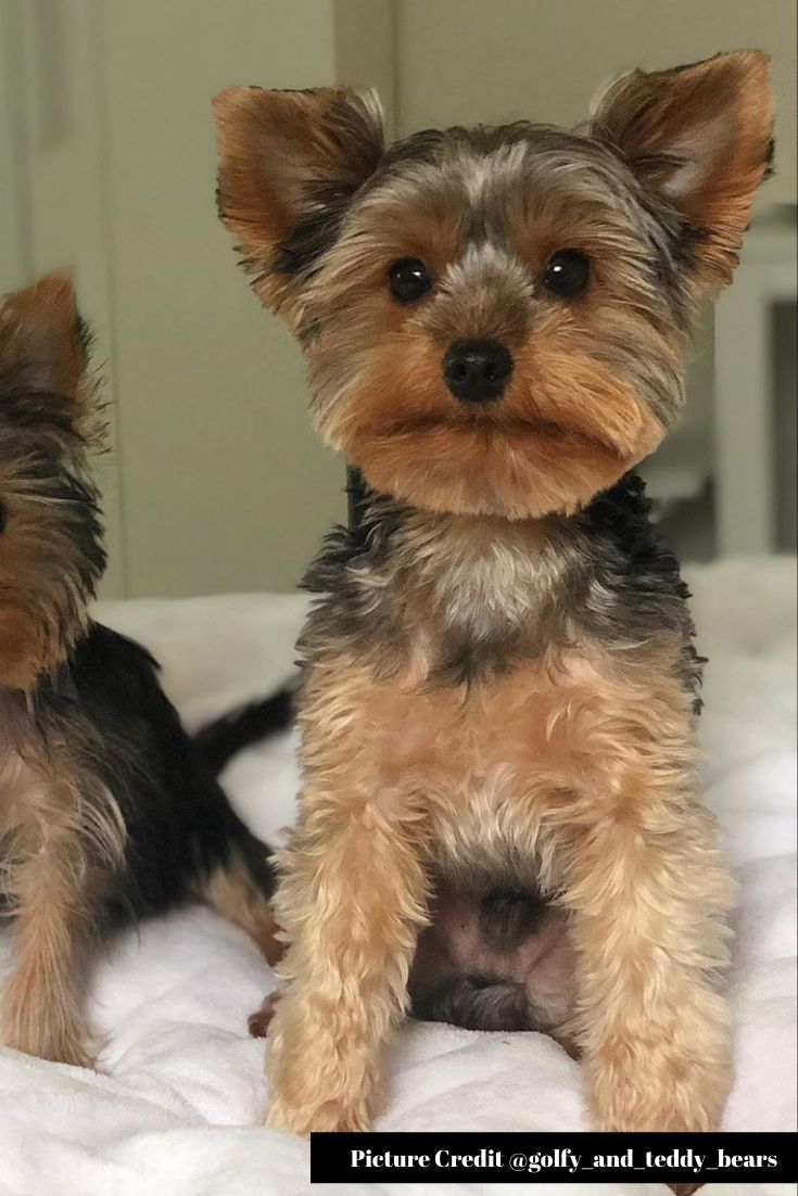 45 Yorkshire Terrier Puppies Pictures That Will Steal Your Heart Away Yorkshire Terrier Yorkshire Terrier Puppies