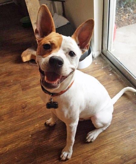 Auggie The Basenji Jack Russell Terrier Mix Beautiful