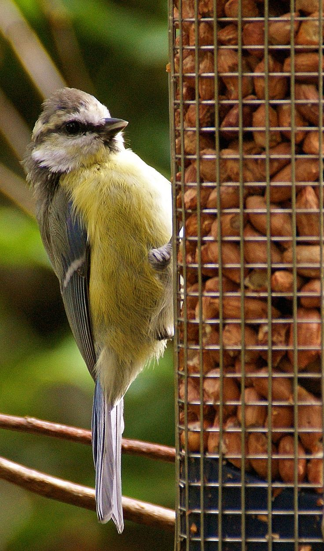 Eine Meise pickt sich Nüsse an einer Vogelfuttersäule. Eine kleine Auswahl an Vogelfutterspendern gibts hier http://vogelhaus-vergleich.de/vogelfutterspender/