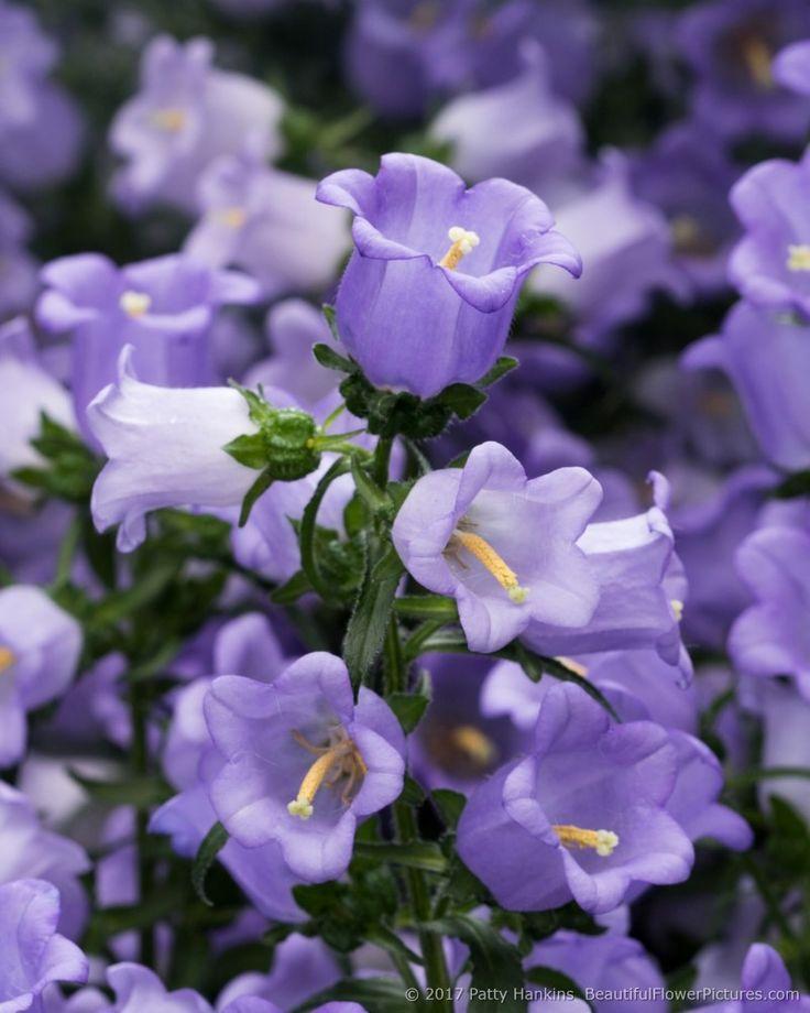 Champion Pro Lavender Canterbury Bells Capanula Medium In 2020 Purple Bell Flowers Flower Names Lavender Aesthetic