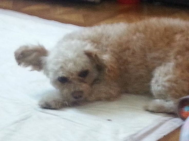 Richard Callender Lost And Found Pets In Brooklyn New York October 23 Edited Found Dog Ridgewood And Bushwick Pals Kelly Mar Poodle Mix Pets Dogs