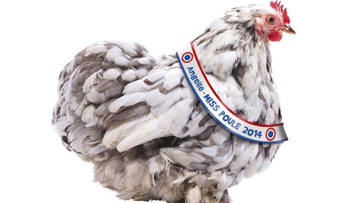 Pour la deuxième année consécutive, l'élection de Miss Poule 2014 a rencontré un vif succès. Et, pour la première fois, elle était accompagnée d'un vote pour élire Mister Coq, le spécimen le plus élégant de la basse-cour française..Angelle, poule Pékin, couleur bleue caillouté