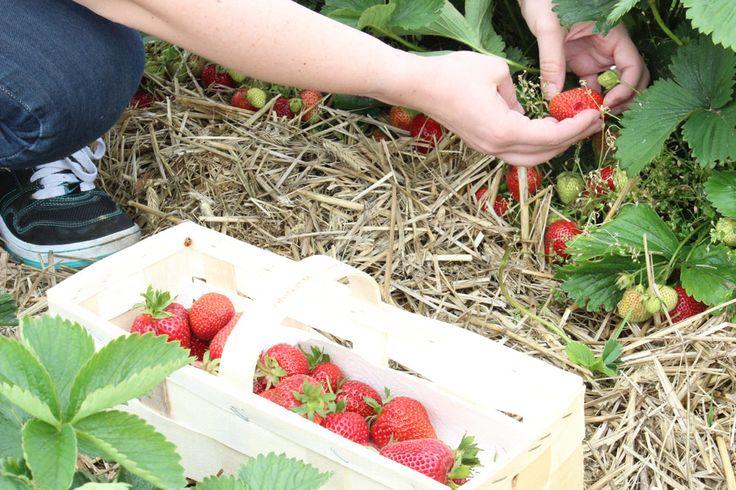 Erdbeerfeld, Erdbeeren selber pflücken mit Fruity Flowers