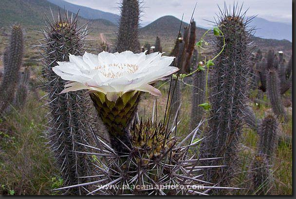 """Cactus """"cacto del desierto"""" (Echinopsis deserticola) blooming"""