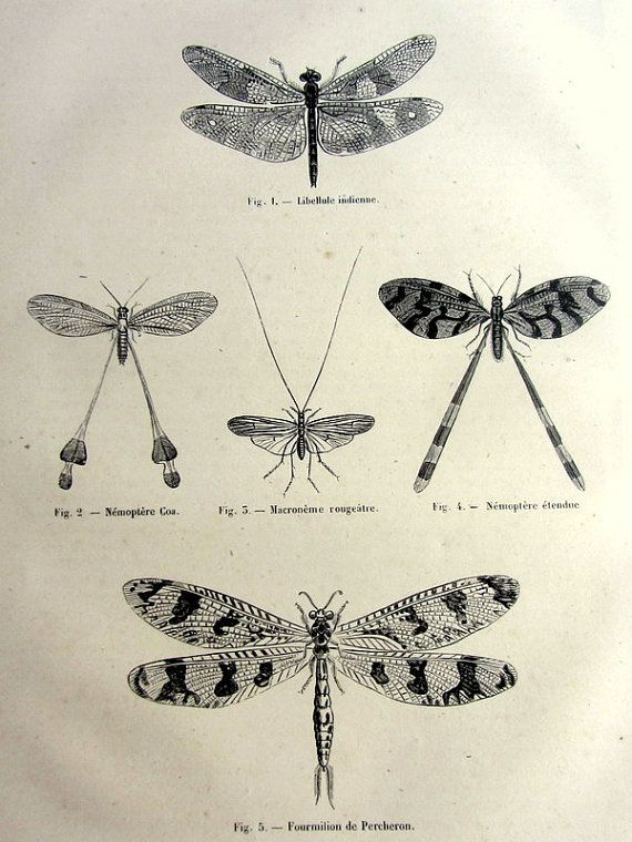 Antique dragonflies print, original 1860 odonata dragonfly french engraving, insect plate illustration,vintage ant lion nemoptera  for frame...