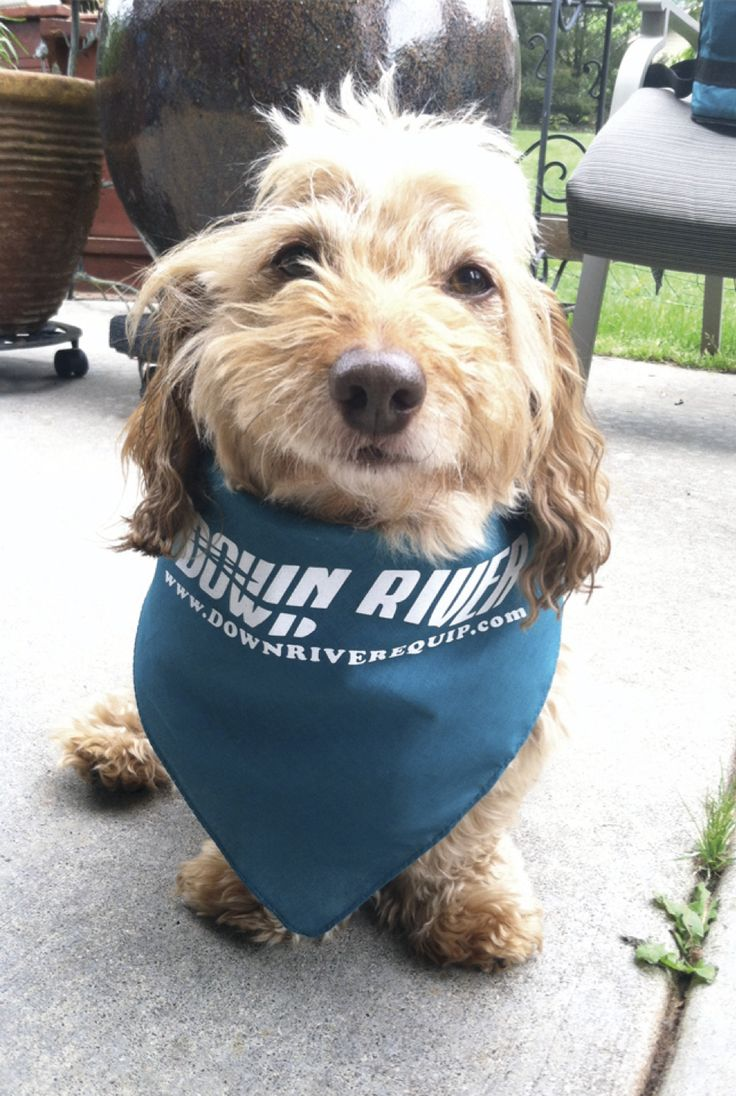 This Is Benny He's A Little Doxiepoo (dachshund Poodle Mix) And Absolutely  Loves