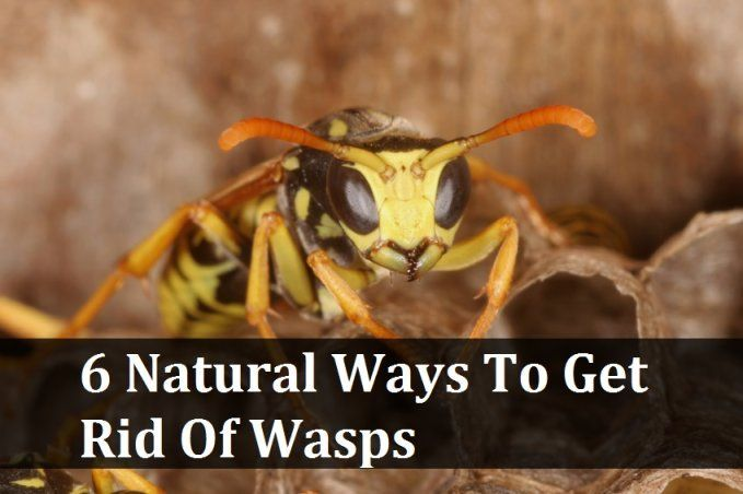 6 Natural Ways To Get Rid Of Wasps - hang a ziplock bag with water and a penny! Mosquitoes, bees and wasps think it's a spider and will stay away!