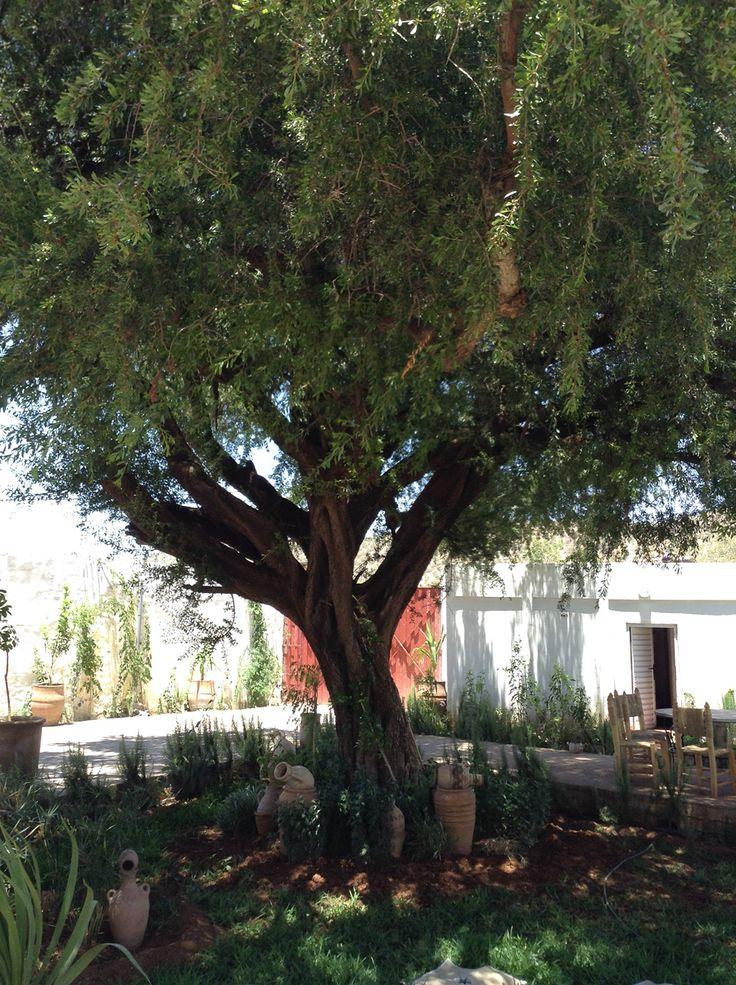 Matuzsálem korú argánfa #argantree #morocco
