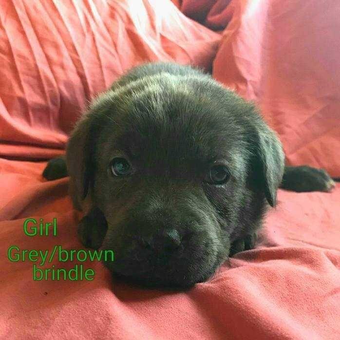 Labmaraner dog for Adoption in White River Junction, VT. ADN-617506 on PuppyFinder.com Gender: Female. Age: Baby