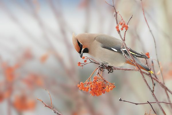 Bohemian Waxwing - Winter Dreams I loved the colours presented from this slightly overcast winter day.