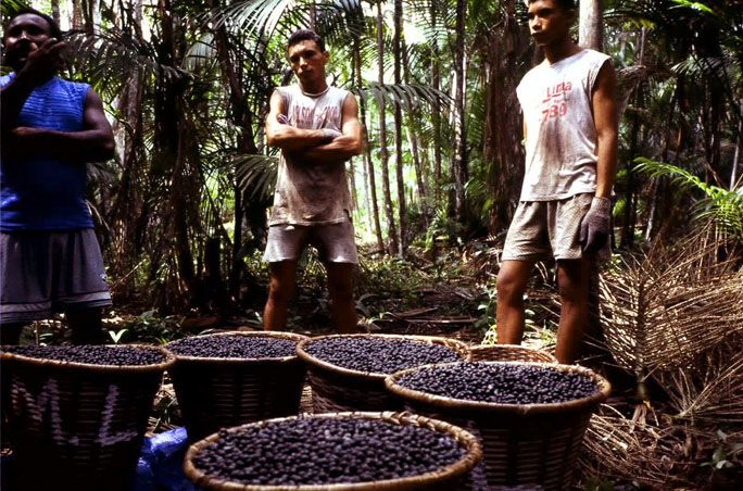 These people live in the Brazilian Amazon, where they harvest acai berries (Euterpe oleraceae). As part of a program implemented by Sambazon Acai, these harvesters receive a better wage than other acai harvesters, and they also implement methods of natural forest management to keep the land, trees, and other life healthy. The Sambazon program employs thousands of people, and helps to preserve precious Amazon rainforest. Photo by Chris Kilham