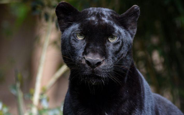 Download wallpapers panther, black leopard, wild cat, wildlife, predator
