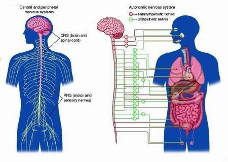 benefits of massage on the autonomic nervous system Benefits of massage by gill tree managing director of essentials for health massage has a huge number of benefits to all the systems  the nervous system.