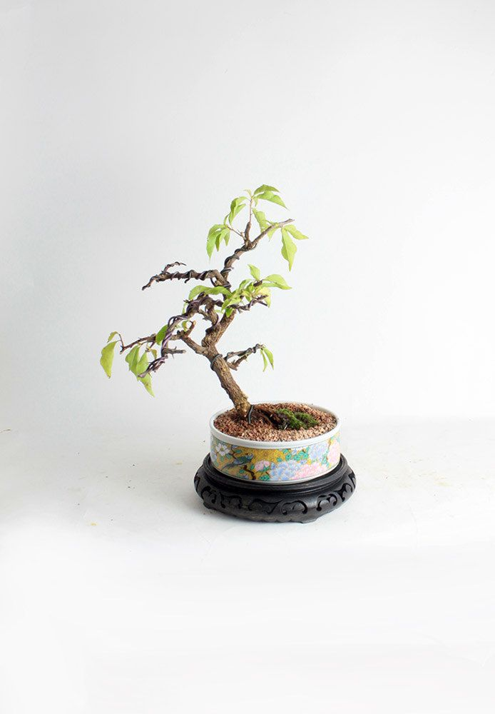 Bougainvillea Winter Care What To Do With A Bougainvillea: 1000+ Ideas About Bougainvillea Bonsai On Pinterest