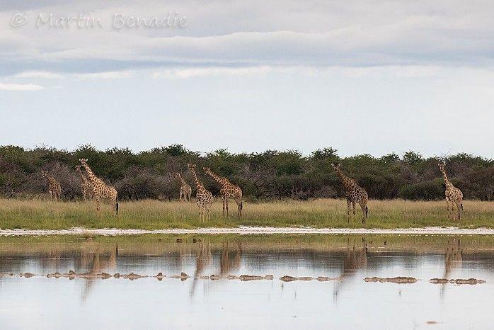 Southern giraffes #EtoshaNP