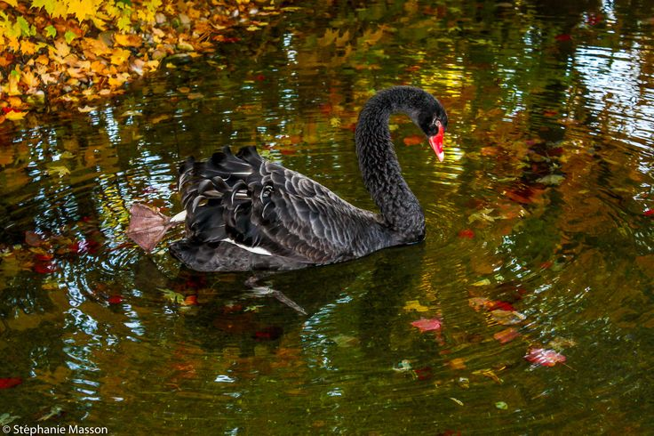 Black Swan by Stéphanie Masson on 500px - Black Swan swimming in a pond among dead leaves during fall season in Quebec.