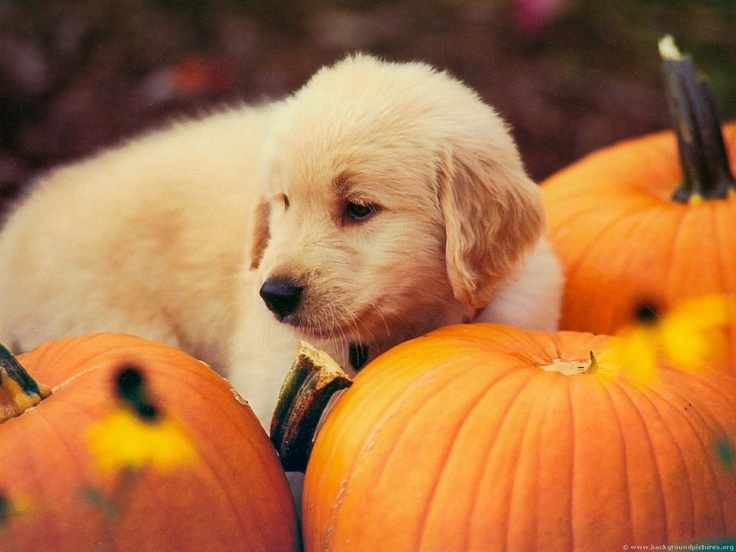 golden: Cute Golden Retriever Puppies, Dogs, Little Puppies, Pumpkin Pup, Autumn, Costume, Pumpkin Patches, Honey Chicken Kabobs, Happy Halloween