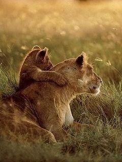 Wild life lion mother and baby watching sunset - mobile9 ...