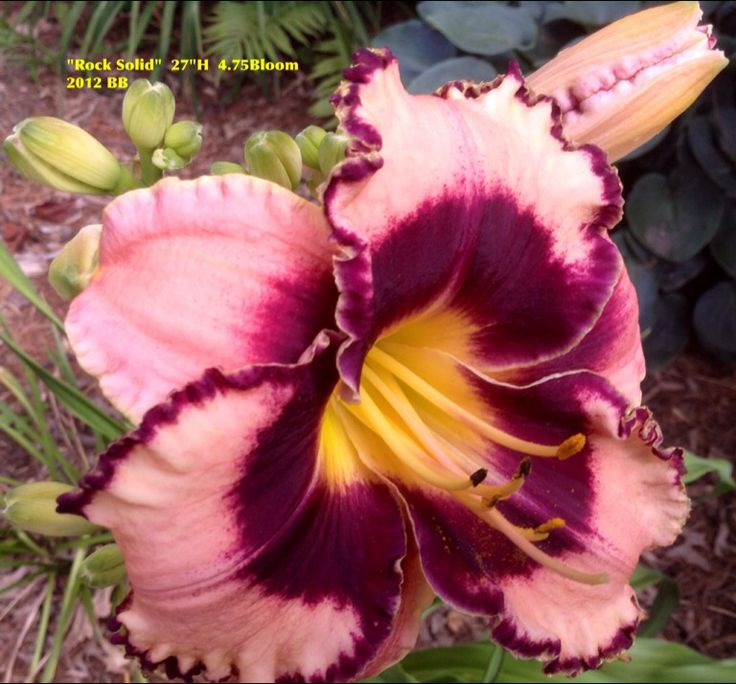 """Day Lily """"Rock Solid"""" 2012 BB 2014 photo"""