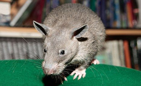 This wild large rat species is growing in numbers in NYC. They are kinda cute, but I wouldn't want a wild one in my house...scary