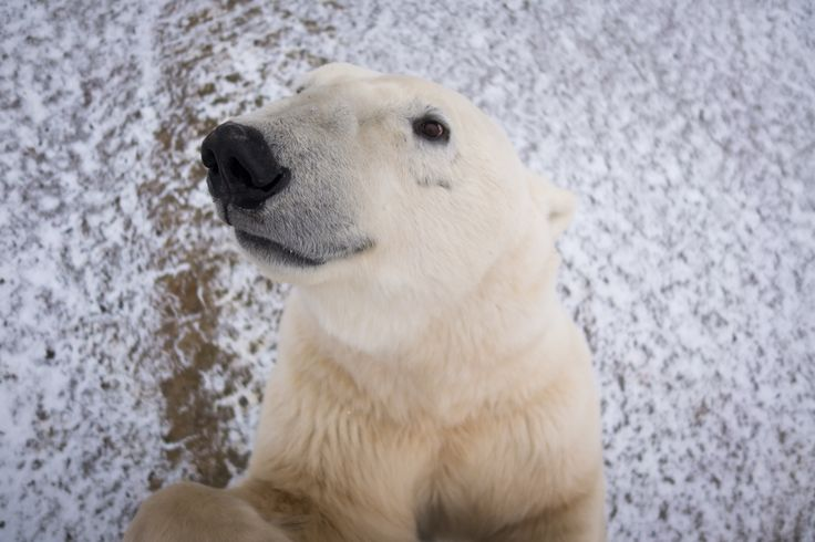 Goofy picture of polar bear trying to get into the Tundra Buggy....Arctic safari: 13 stark images from the land of polar bears