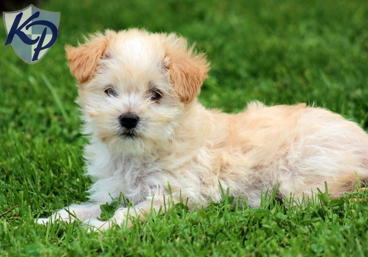 Hope – Morkie Puppies for Sale in PA | Keystone ... | Morkie Puppies