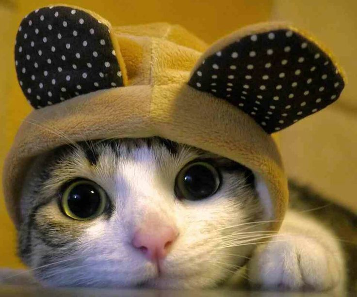cute cat in a hat cats picture - Funny Cat Halloween