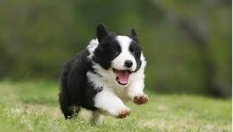 border collie puppy - I want one
